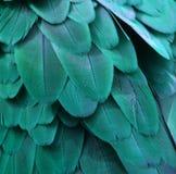 小野鸭蓝色金刚鹦鹉羽毛 库存图片