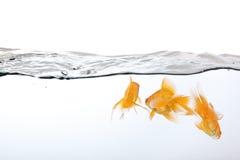 小金鱼的组 免版税库存照片
