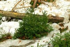 小针叶树-冷杉,在白色雪的云杉 33c 1月横向俄国温度ural冬天 免版税库存照片