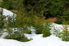 小针叶树-冷杉,在白色雪的云杉 33c 1月横向俄国温度ural冬天 库存照片