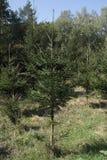 小针叶树 图库摄影