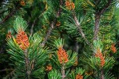 小针叶树 库存图片