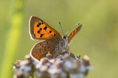 小铜蝴蝶& x28; Lycaena phlaeas& x29;从下面 图库摄影
