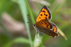 小铜蝴蝶& x28; Lycaena phlaeas& x29;栖息在草 图库摄影