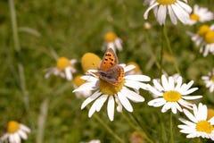 小铜蝴蝶, Lycaena phlaeas, nectaring在母菊 免版税库存图片