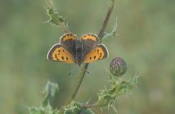 小铜蝴蝶, Lycaena phlaeas 库存图片