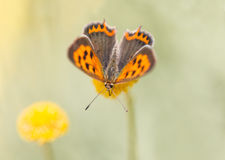 小铜蝴蝶-西班牙 免版税库存照片