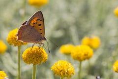 小铜蝴蝶-西班牙 库存图片