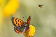 小铜蝴蝶-西班牙 库存照片