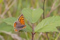 小铜蝴蝶(Lycaena phlaeas) 免版税库存图片