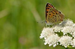 小铜(Lycaena phlaeas)蝴蝶 图库摄影