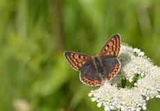 小铜(Lycaena phlaeas)蝴蝶 免版税库存图片