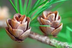 小锥体的杉木 免版税库存照片