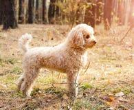 小长卷毛狗在秋天森林里 免版税库存照片