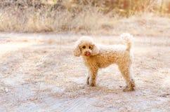 小长卷毛狗在秋天森林里 图库摄影
