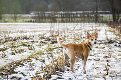 小长毛的狗葡萄牙语佩带蓝领的Podengo 免版税库存图片