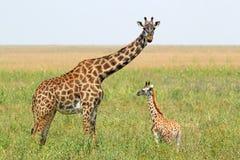 小长颈鹿和母亲 免版税库存图片