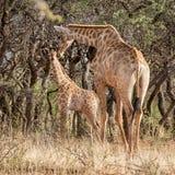 小长颈鹿母亲 库存图片