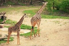 小长颈鹿母亲 库存照片