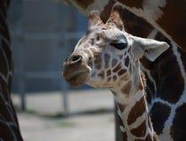 小长颈鹿 免版税图库摄影