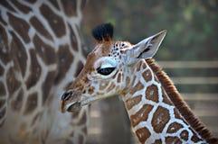 小长颈鹿 库存图片