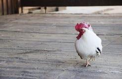 小雄鸡的图象在一只脚站立 库存图片