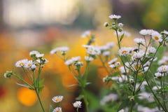 小雏菊在庭院里 免版税库存图片