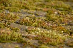小青苔厂在石头增长 免版税库存图片