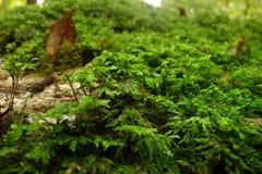 小青苔植物在下落的树增长 免版税库存图片