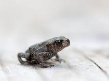 小青蛙侧视图 图库摄影