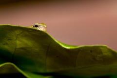 小青蛙叶子结构树 免版税库存图片