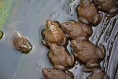 小青蛙在我的农场 库存照片