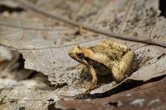 小青蛙的图象在干燥叶子的 被截肢者 敌意 库存照片
