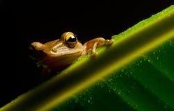 小青蛙的图象 库存图片