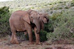 小非洲人布什大象 免版税库存图片