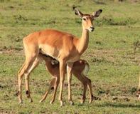 小飞羚哺养 库存照片