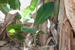 小香蕉树 免版税库存照片