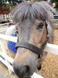 小马在棕色颜色的马面孔 库存图片