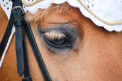 小马的眼睛 库存照片