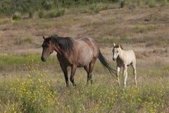 小马跟随母亲 图库摄影