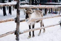 小驯鹿在一个冬天森林农场在拉普兰 芬兰 免版税库存图片