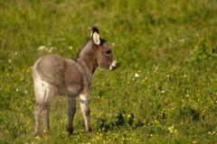 小驴我 图库摄影