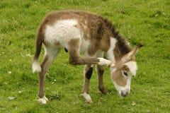 小驴 免版税图库摄影