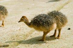 小驼鸟 免版税图库摄影
