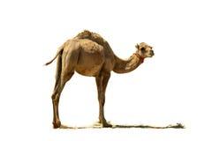小骆驼。 库存图片