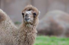 小骆驼 免版税库存图片