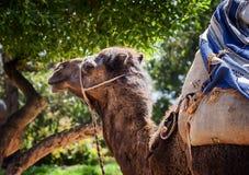小骆驼 库存照片