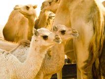 2头小骆驼 免版税库存照片
