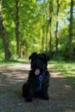 小髯狗在森林里 免版税图库摄影
