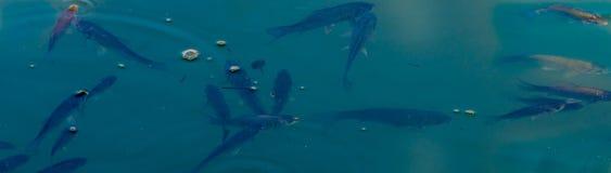 小鱼学校在水表面  库存照片